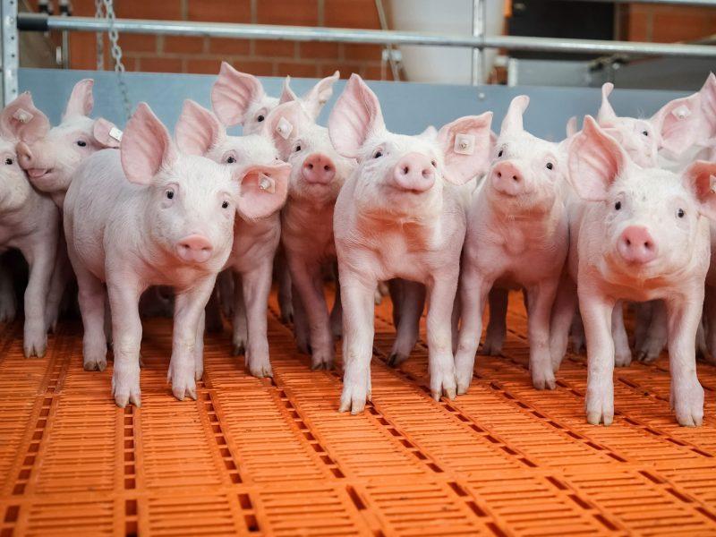 pork production facility