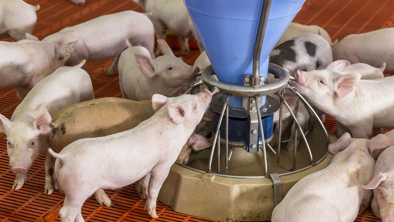 pigs drinking in hog barn