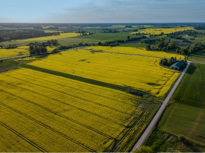 canola growing in the field