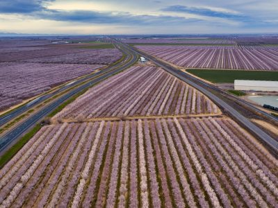 mature field of almond trees